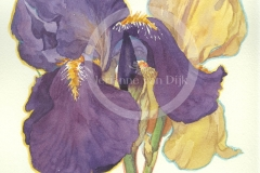 Fine Iris